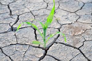 maïs-s-élevant-sur-la-terre-agricole-sèche-41489269